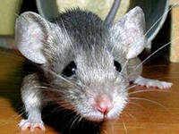 Обложка произведения 'Мышка'