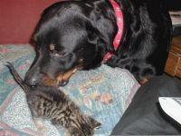 Обложка произведения 'Ротвейлер Лора и бездомный котенок'