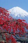 Обложка Цветущая сакура в пустынном саду