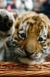 Обложка Играла Ева с маленьким тигрёнком...