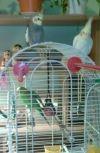 Обложка Волнистый попугайчик.
