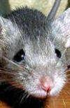 Обложка Мышка