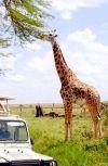 Обложка Жираф