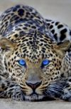 Обложка Леопард с голубыми глазами
