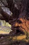 "Обложка ""Мой друг-дерево"" или ""OLD WISE TREE"""
